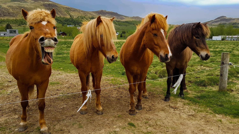 Funny Icelandic Horses Reykjavik Camping Islanda